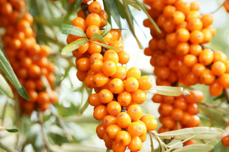 Sea-buckthorn1
